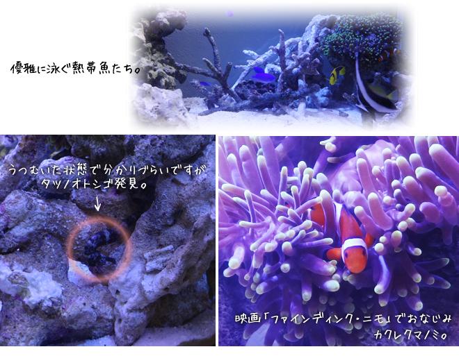 カクレクマノミ(ニモ)・タツノオトシゴ